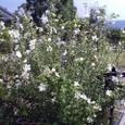 白い花が涼しげ