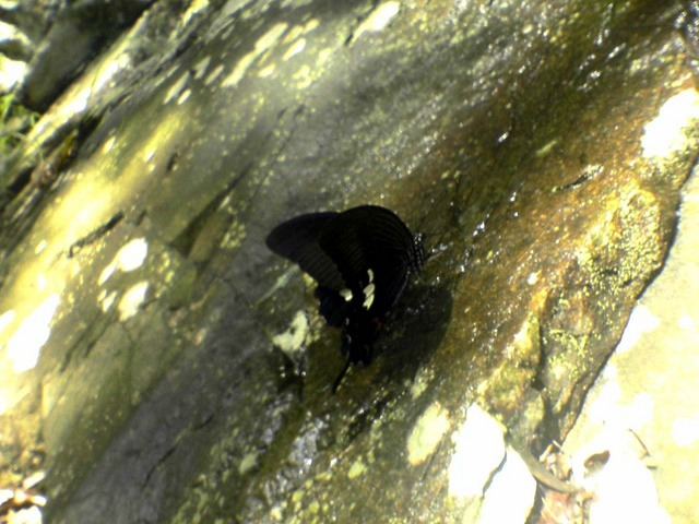 水を飲むモンキアゲハ